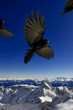 IBLSEI02254138 Alpine choughs (Pyrrhocorax graculus) in flight, mountains at the back, Saentis mountain, Wildhaus, Appenzell, Switzerland