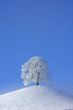 IBLSHU00613725 Frost-covered tree (hoar frost) on a moraine, central Switzerland