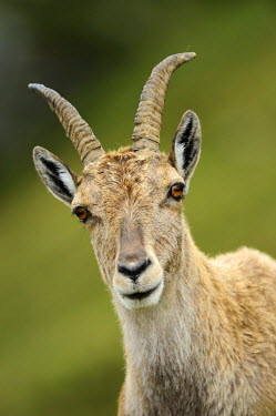 IBLSHU01957934 Alpine Ibex (Capra ibex), portrait, Niederhorn, Bernese Oberland, Switzerland