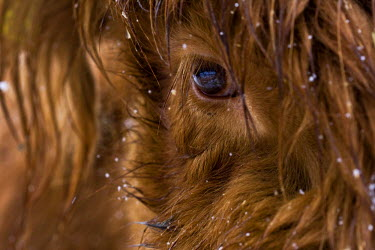 IBLVCH01216566 Eye of a highland cattle calf in a snowstorm, North Tyrol, Tyrol, Austria