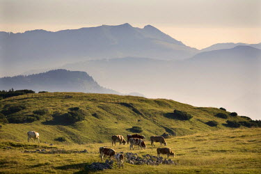 IBLVCH03795271 Cows grazing in alpine meadow in the Rofan Mountains, in Brandenberg, Tyrol, Austria