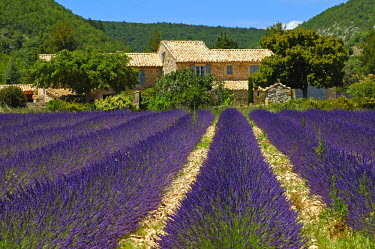 IBLGVA00764473 Lavender field in Provence, France
