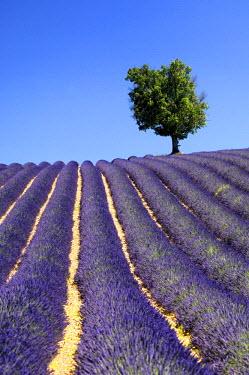 IBLGVA00973376 Lavender field with a tree, Plateau de Valensole, Provence, France