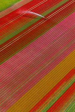 IBLBLO03731980 Field irrigation, tulip fields, Zeewolde, Flevoland, The Netherlands