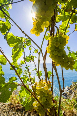 IBLDJS03786316 Vines near the sea, Cinque Terre, La Spezia Province, Liguria, Italy