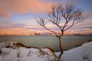 IBLSEI03737557 Young birch (Betula) before fjord in winter landscape, Sommeroya, Tromso Northern Norway, Norway