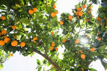 IBLDJS03718771 Orange tree and sunshine, Soller, Majorca, Balearic Islands, Spain