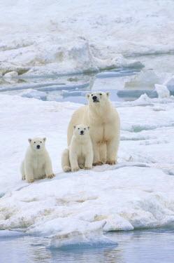 IBLGAB03754771 Polar Bears (Ursus maritimus) walking on an ice floe near Wrangel Island, a UNESCO World Heritage site, sow with cubs, Wrangel Island, Far Eastern Federal District, Russia