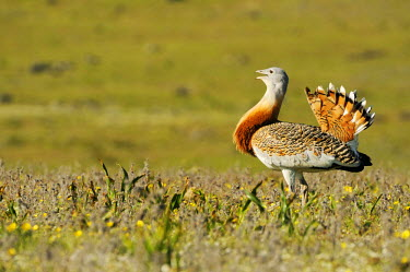 IBLSHU01891190 Great Bustard (Otis tarda), male, roaming the steppe of the Extremadura, Spain