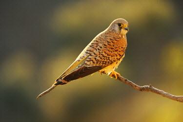 IBLSHU01957914 Lesser Kestrel (Falco naumanni), male, perched on branch at dawn, Quintana de la Serena, Badajoz, Extremadura, Spain