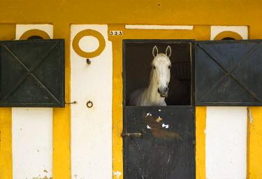IBLTDR03666703 Mare in a stable during the Feria del Caballo, Horse Festival, Jerez de la Frontera, Cadiz province, Andalusia, Spain