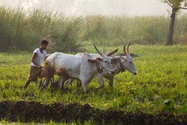 IBLMAN01485818 Oxen plow in a rice field, Pandavapura, Karnataka, South India, India, South Asia