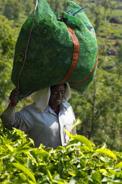 IBLMAN01491341 Tea picker carrying a bag of tea leaves on the head, tea plantation in the Highlands around Munnar, Kerala, Western Ghats, India, South Asia