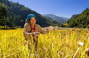 IBLFBD03100387 Farmers woman harvesting millet, Shivalaya, Solukhumbu District, Sagarmatha, Nepal