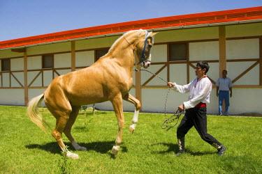 IBLGAB01113598 Ashgabat, Akhal-Teke horse in a stud farm, Turkmenistan
