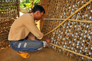 IBLGZS01234798 Sericulture, silk farming, silk cocoons are being harvested by a man by hand, Dalat, Central Highlands, Vietnam