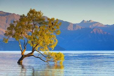 NZ02627 New Zealand, South Island, Otago, Wanaka, Lake Wanaka, solitary tree, dawn