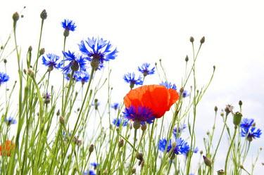 IBLDJS01110353 Cornflowers and poppy blossom