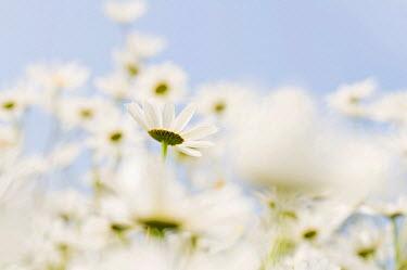 IBLDJS01192417 Meadow with daisies (Leucanthemum vulgare)