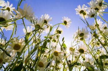 IBLDJS01192419 Meadow with daisies (Leucanthemum vulgare)
