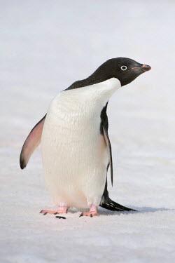 IBLGAB02192152 Adelie penguin (Pygoscelis adeliae), Paulet Island, Erebus and Terror Gulf, Antarctic Peninsula, Antarctica