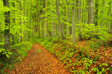 IBLSHU00827466 Beech (Fagus) forest in spring, new leaf growth