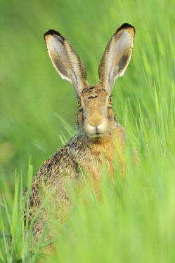 IBLSHU00849713 European Hare (Lepus europaeus)
