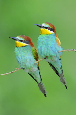 IBLSHU00851675 European Bee-eaters (Merops apiaster), male and female on their perch