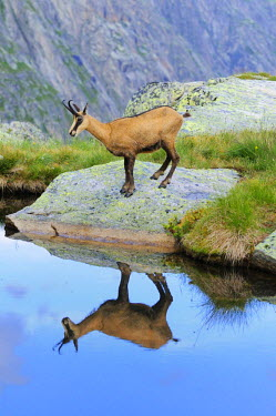 IBLSHU00909285 Chamois (Rupicapra rupicapra) reflected in the mountain lake