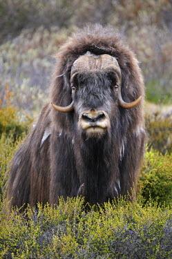 IBLSHU01202288 Musk Ox (Ovibos moschatus), bull