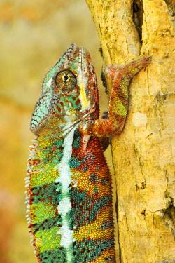 IBLSHU01702324 Panther Chameleons (Furcifer pardalis), male