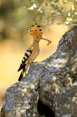 IBLSHU01891594 Hoopoe (Upupa epops), sitting with food on an old olive tree