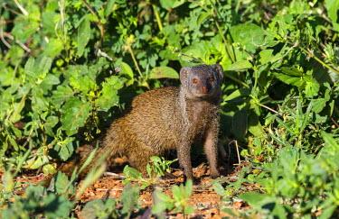 KEN10178 Kenya, Samburu National Reserve, Samburu County.  A dwarf mongoose.