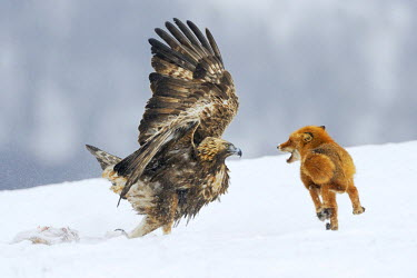 Golden Eagle (Aquila chrysaetos) fighting with a red fox (Vulpes vulpes) over a carcass, Sinite Kamani Nature Park, Bulgaria