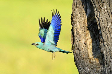 European Roller (Coracias garrulus), flying out from the nesting hole in an old apple tree, Bulgaria