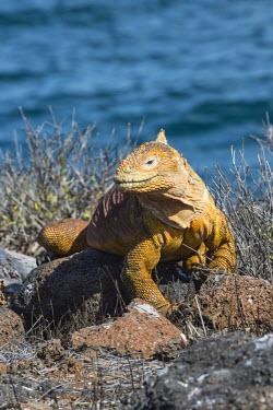 IBLGAB03723692 Galapagos Land Iguana (Conolophus subcristatus), Seymour Norte, Galapagos Islands, UNESCO World Heritage Site, Ecuador
