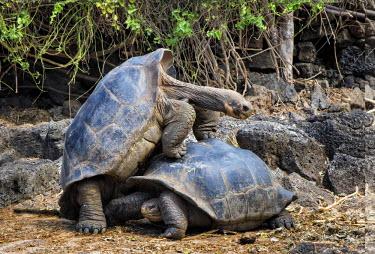 IBLGAB03723713 Fake mating between two male Galapagos Giant Tortoises (Geochelone Elephantophus), Santa Cruz Island, Galapagos Islands, UNESCO World Heritage Site, Ecuador