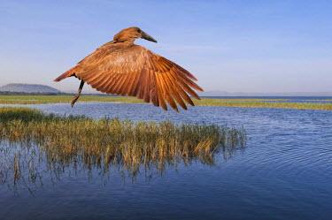 IBLGAB03111731 Hamerkop (Scopus umbretta), Lake Awasa, Awasa Lake, Awasa, Southern Nations, Nationalities, and Peoples? Region, Ethiopia, Africa