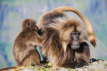 IBLGAB03111876 Gelada baboons (Theropithecus gelada) grooming each other, Simien Mountains National Park, Amhara Region, Ethiopia, Africa