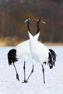 IBLSHU03090235 A pair of Red-crowned Cranes, Japanese Cranes or Manchurian Cranes (Grus Japonensis) performing a mating dance, Kushiro-Shitsugen-Nationalpark, Kushiro, Hokkaido, Japan