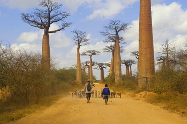 IBLGAB01410806 Alley of the Baobabs (Adansonia grandidieri), Morondava, Madagascar, Africa
