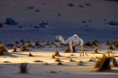 IBLGVA00765687 Lone white camel (Camelus dromedarius) in evening light in the desert sands of Libya, North Africa