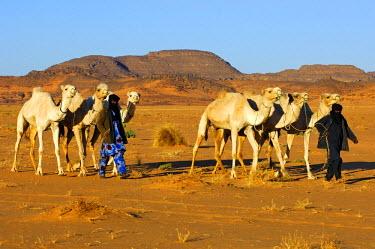 IBLGVA02008549 Tuareg nomads bringing their herd of dromedaries back home from the pasture in the desert, Sahara, Libya, North Africa, Africa
