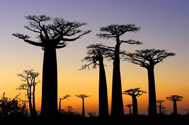 IBLSHU01694970 Baobab Alley, Grandidier's Baobab (Adansonia grandidieri), shortly before sunrise, silhouette of trees at dawn, Morondava, Madagascar, Africa