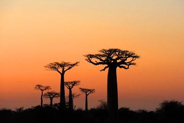 IBLSHU01694974 Grandidier's Baobab (Adansonia grandidieri), silhouette of trees at dawn, Morondava, Madagascar, Africa
