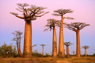 IBLSHU01695718 Baobab Alley, Grandidier's Baobab (Adansonia grandidieri), during magic hour, Morondava, Madagascar, Africa