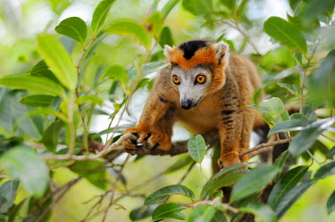 IBLSHU01701200 Crowned Lemur (Eulemur coronatus), Madagascar, Africa