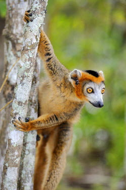 IBLSHU01701207 Crowned Lemur (Eulemur coronatus), clinging to a tree trunk, Madagascar, Africa