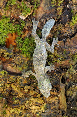 IBLSHU01702315 Mossy leaf-tailed gecko (Uroplatus sikorae sameiti), Madagascar, Africa