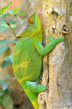 IBLSHU01702327 Parson's Chameleon (Calumma parsonii), climbing a tree trunk, Madagascar, Africa